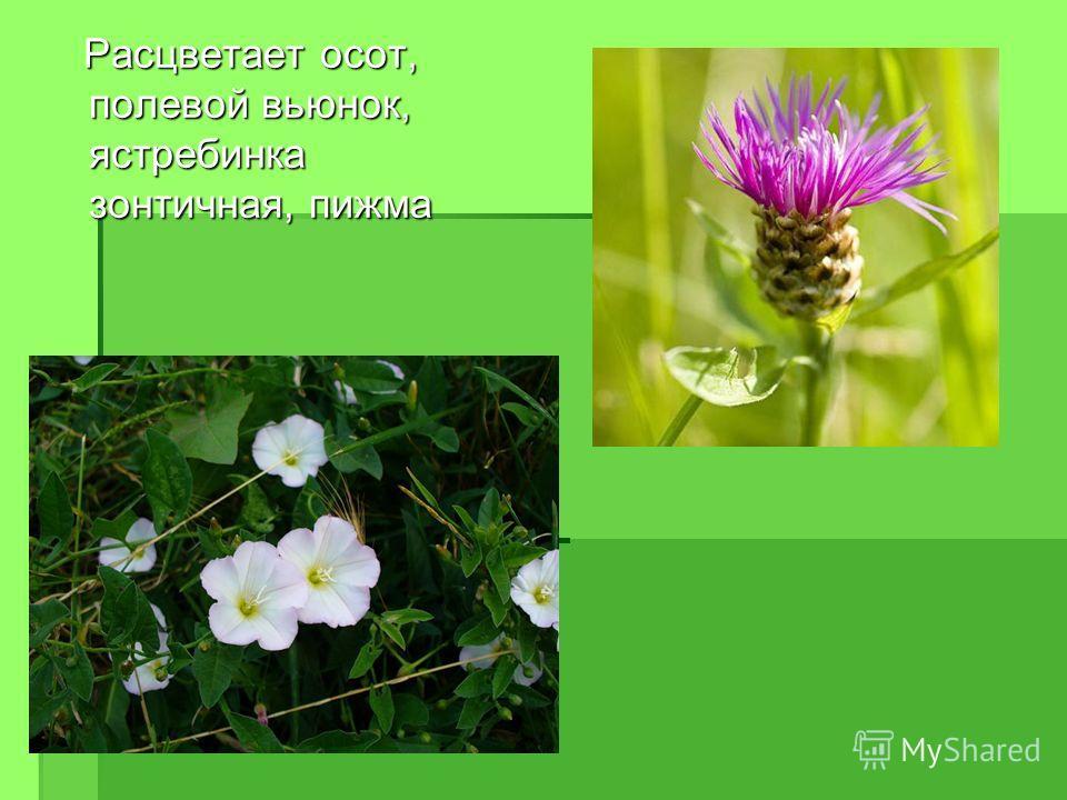 Расцветает осот, полевой вьюнок, ястребинка зонтичная, пижма Расцветает осот, полевой вьюнок, ястребинка зонтичная, пижма