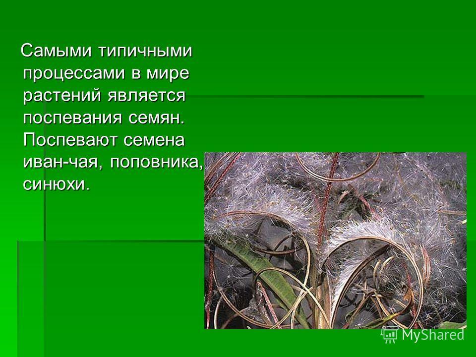 Самыми типичными процессами в мире растений является поспевания семян. Поспевают семена иван-чая, поповника, синюхи. Самыми типичными процессами в мире растений является поспевания семян. Поспевают семена иван-чая, поповника, синюхи.
