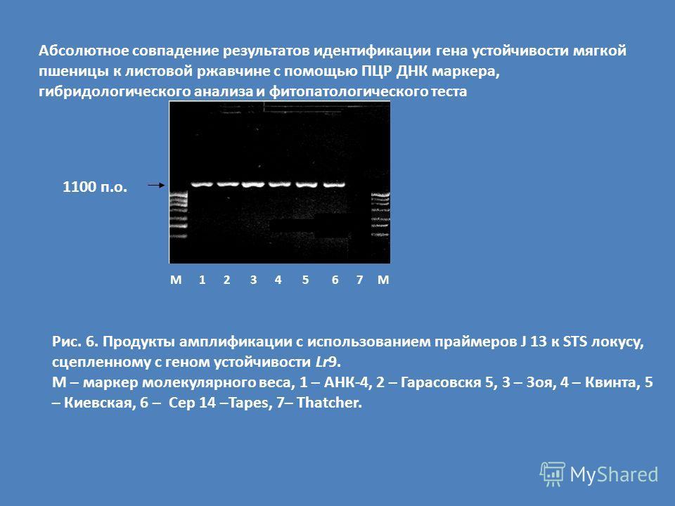 М 1 2 3 4 5 6 7 М Рис. 6. Продукты амплификации с использованием праймеров J 13 к STS локусу, сцепленному с геном устойчивости Lr9. М – маркер молекулярного веса, 1 – АНК-4, 2 – Гарасовскя 5, 3 – Зоя, 4 – Квинта, 5 – Киевская, 6 – Cep 14 –Tapes, 7– T