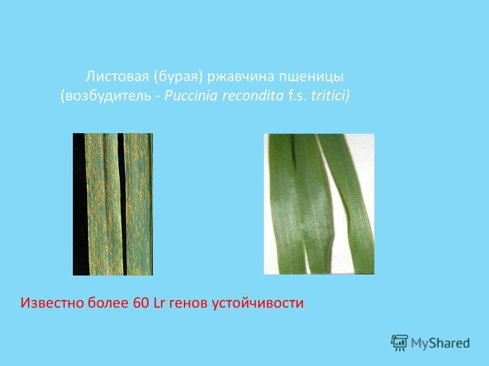 Листовая (бурая) ржавчина пшеницы (возбудитель - Puccinia recondita f.s. tritici) Известно более 60 Lr генов устойчивости