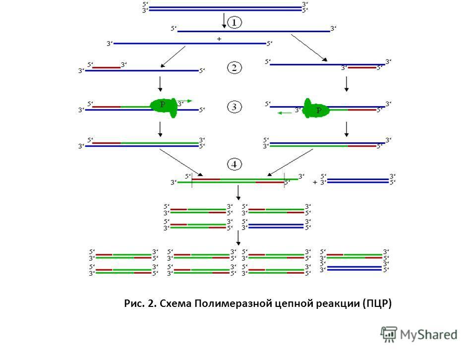 клонов к изучаемому образцу Рис. 2. Схема Полимеразной цепной реакции (ПЦР)