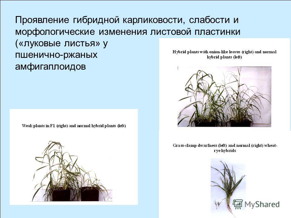 Выявление межлинейных различий при анализе гибридов пшеницы Chinese Spring с инбредными линиями ржи Новообразования Число линий* 1.Непрорастающие семена (эмбриональная летальность) 4(3) 2.Остановка развития в фазе трёх листьев 2(0) 3.Слабые, малокуст