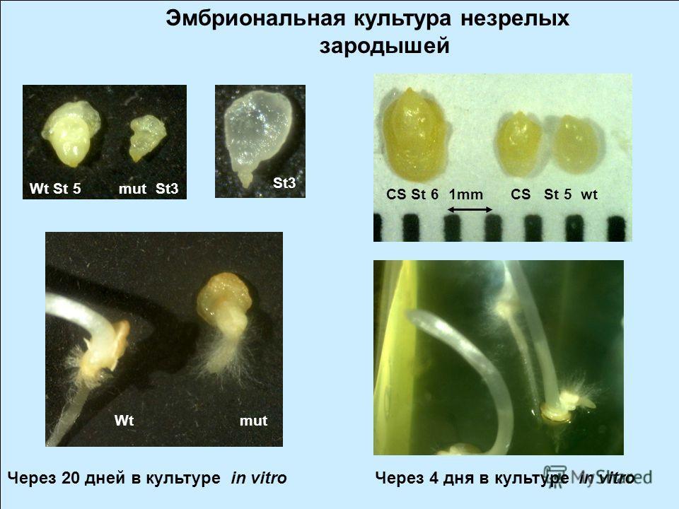 Цитологическое и гистологическое исследование аномальных пшенично-ржаных зародышей Методом гибридизации in situ (GISH) ис использованием TUNEL test (terminal deoxynucleotidyltransferase- mediated dUTP nick-end labelling) было показано, что остановка