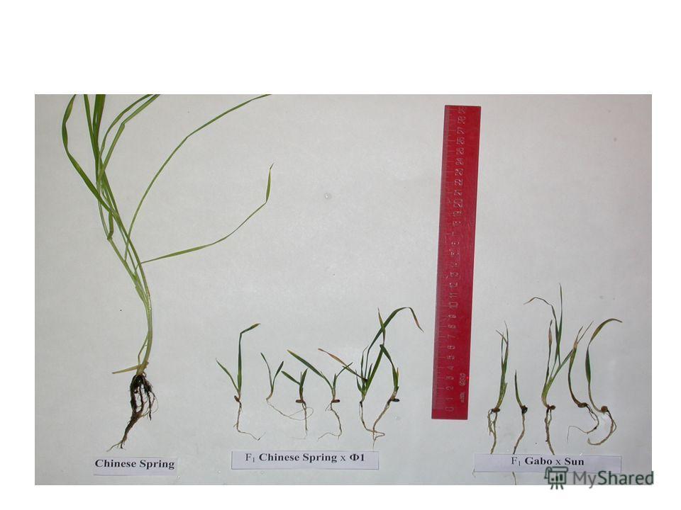 Пшенично-ржаные и внутривидовые гибриды пшеницы и родительские формы