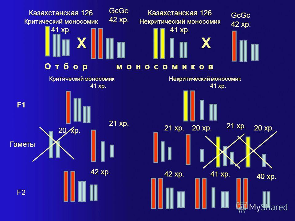 Схема моносомного анализа для локализации гаметоцидного гена Казахстанская 126 Критический моносомик 41 хр. 20 хр. Х GcGc 42 хр. Отбор моносомиков Критический моносомик 41 хр. F1 Гаметы 20 хр. 21 хр. Казахстанская 126 Критический моносомик 41 хр. F2