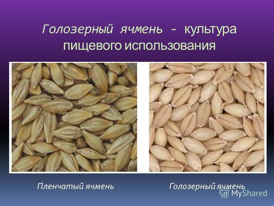 Голозерный ячмень - культура пищевого использования Пленчатый ячменьГолозерный ячмень