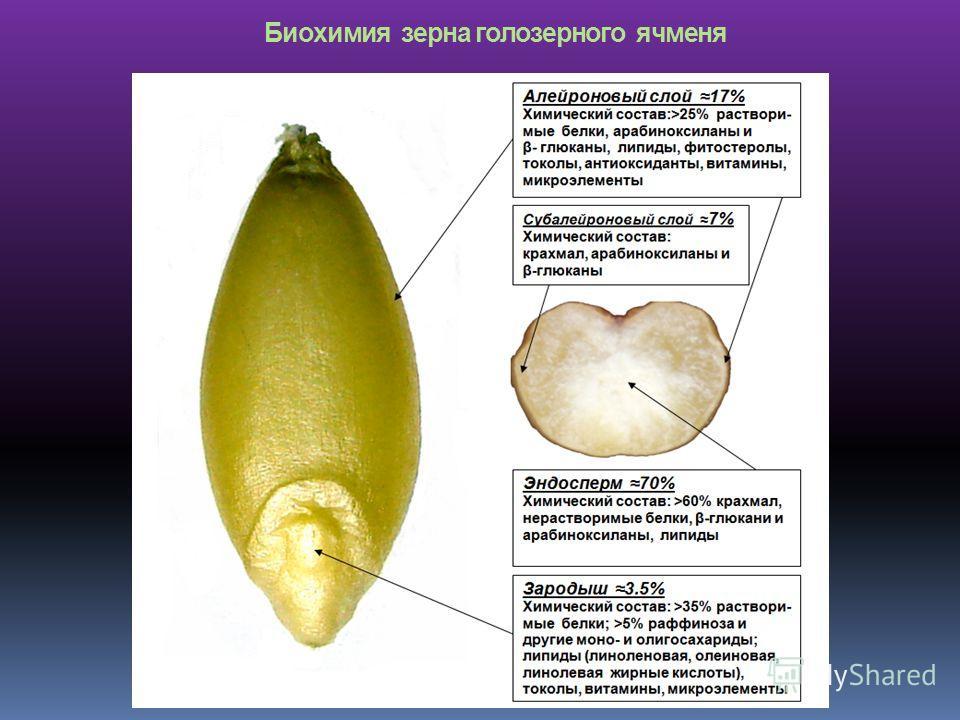 Биохимия зерна голозерного ячменя