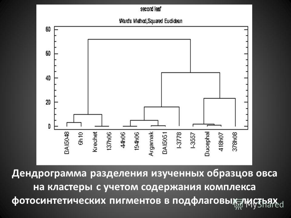 Дендрограмма разделения изученных образцов овса на кластеры с учетом содержания комплекса фотосинтетических пигментов в подфлаговых листьях
