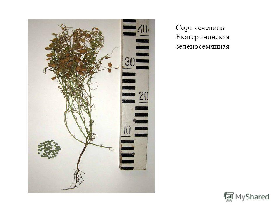Сорт чечевицы Екатерининская зеленосемянная