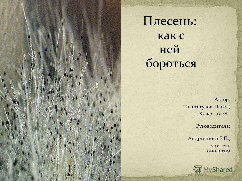 Плесень: как с ней бороться Автор: Толстогузов Павел, Класс : 6 «Б» Руководитель: Андриянова Е.П., учитель биологи и