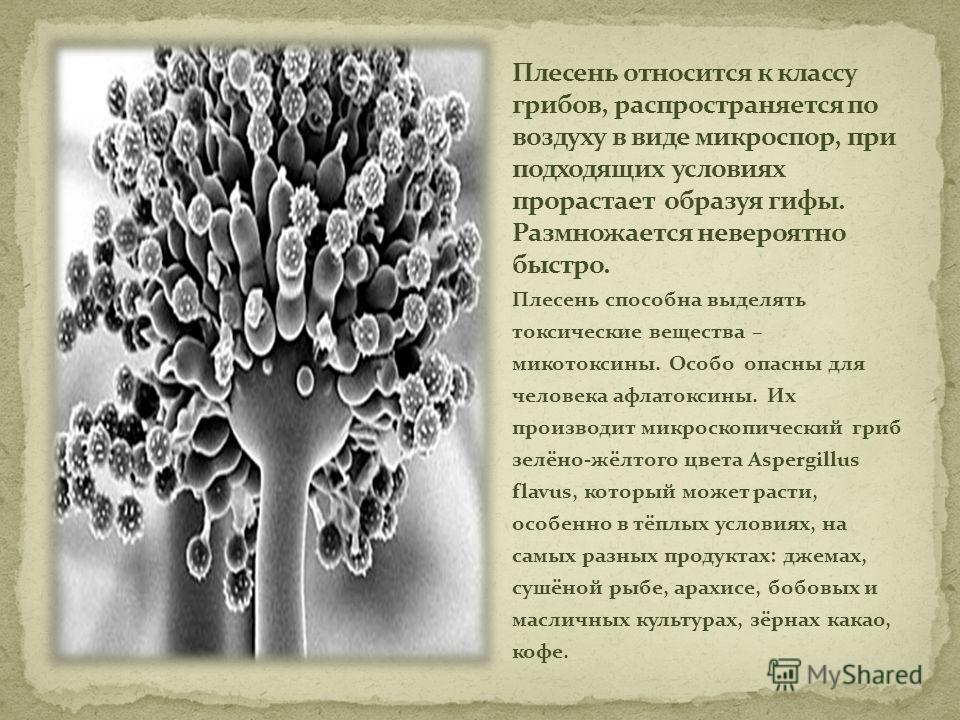 Плесень способна выделять токсические вещества – микотоксины. Особо опасны для человека афлатоксины. Их производит микроскопический гриб зелёно-жёлтого цвета Aspergillus flavus, который может расти, особенно в тёплых условиях, на самых разных продукт