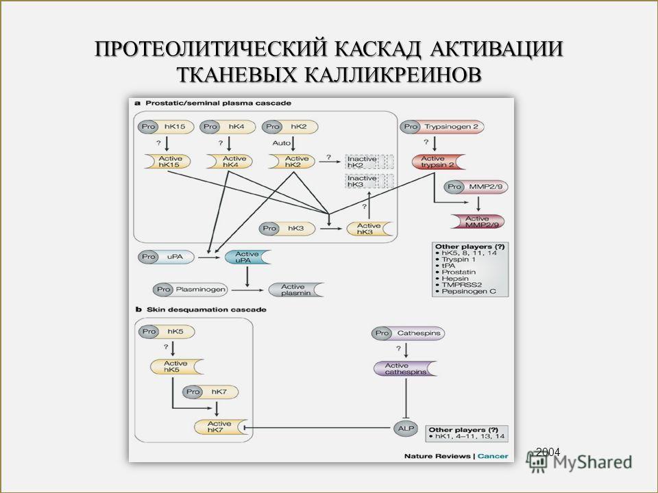 ПРОТЕОЛИТИЧЕСКИЙ КАСКАД АКТИВАЦИИ ТКАНЕВЫХ КАЛЛИКРЕИНОВ 2004