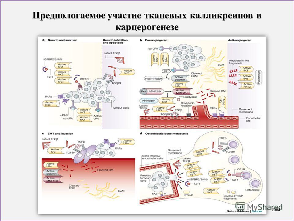 Предпологаемое участие тканевых калликреинов в карцерогенезе 2004