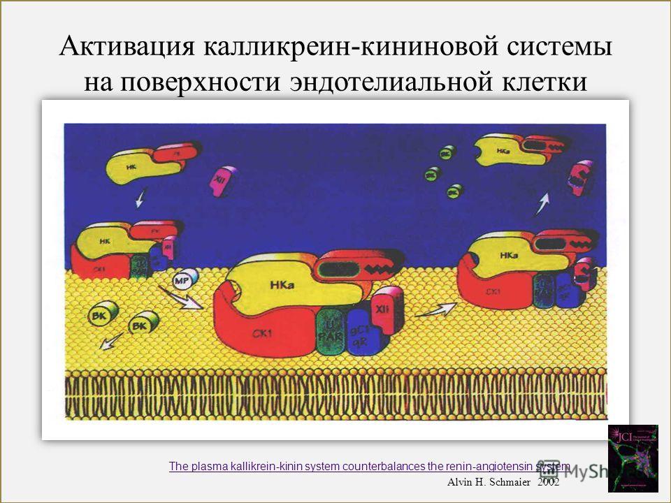 Активация калликреин-кининовой системы на поверхности эндотелиальной клетки Alvin H. Schmaier 2002 The plasma kallikrein-kinin system counterbalances the renin-angiotensin system