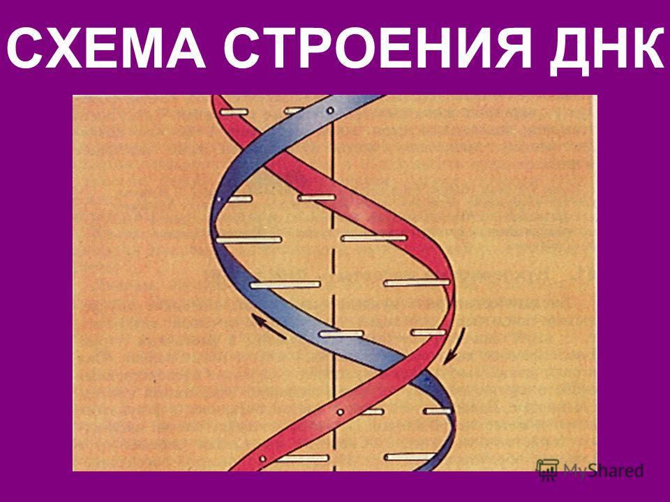 ФРАГМЕНТ МОЛЕКУЛЫ ДНК А ЦГ Т OH O O PO O Д