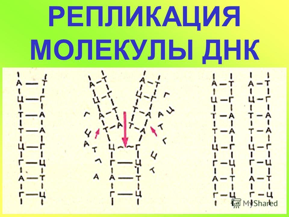 КОМПЛЕМЕНТАРНОЕ СОЕДИНЕНИЕ НИТЕЙ ДНК А Ц Т Г ТА 3 ВОДОРОДНЫЕ СВЯЗИ - Г и - Ц 2 ВОДОРОДНЫЕ СВЯЗИ - А и - Т ОБЕСПЕЧИВАЮТ ПРОЧНОСТЬ ЦЕПИ