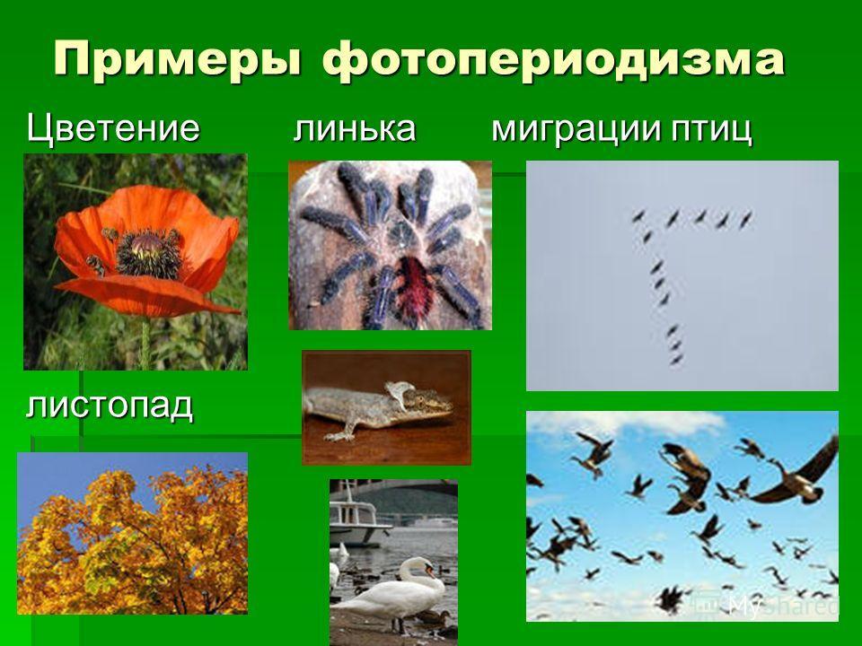 Примеры фотопериодизма Цветение линька миграции птиц листопад