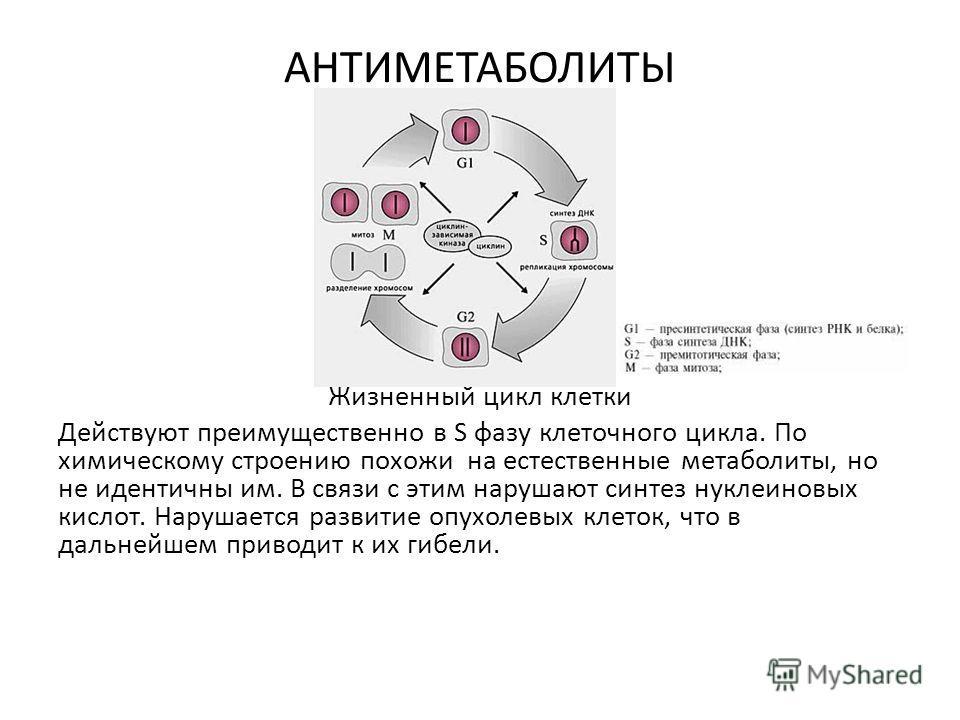 АНТИМЕТАБОЛИТЫ Жизненный цикл клетки Действуют преимущественно в S фазу клеточного цикла. По химическому строению похожи на естественные метаболиты, но не идентичны им. В связи с этим нарушают синтез нуклеиновых кислот. Нарушается развитие опухолевых