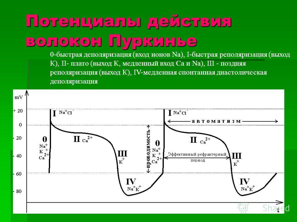 0-быстрая деполяризация (вход ионов Na), I-быстрая реполяризация (выход К), II- плато (выход К, медленный вход Ca и Na), III - поздняя реполяризация (выход К), IV-медленная спонтанная диастолическая деполяризация Потенциалы действия волокон Пуркинье
