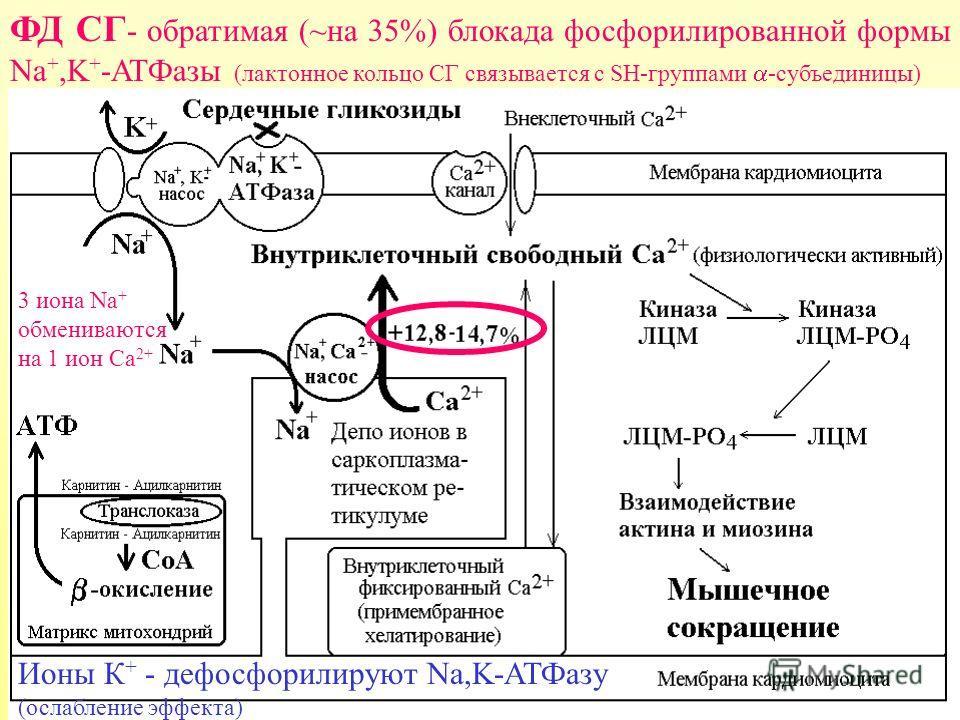 ФД СГ - обратимая (~на 35%) блокада фосфорилированной формы Nа +,K + -ATФазы (лактонное кольцо СГ связывается с SH-группами -субъединицы) Ионы К + - дефосфорилируют Na,K-АТФазу (ослабление эффекта) 3 иона Na + обмениваются на 1 ион Ca 2+