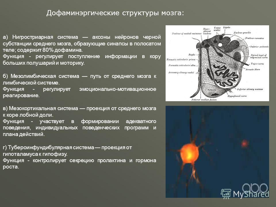 г) Тубероинфундибулярная система проекция от гипоталамуса к гипофизу. Функция - контролирует секрецию пролактина и гормона роста. а) Нигростриарная система аксоны нейронов черной субстанции среднего мозга, образующие синапсы в полосатом теле; содержи