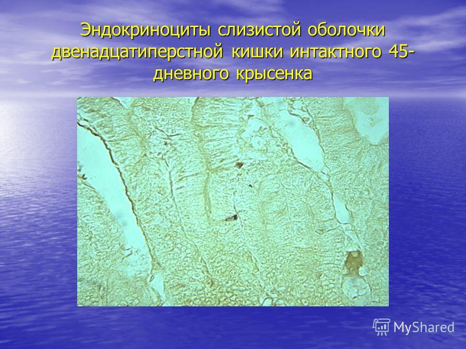 Эндокриноциты слизистой оболочки двенадцатиперстной кишки интактного 45- дневного крысенка
