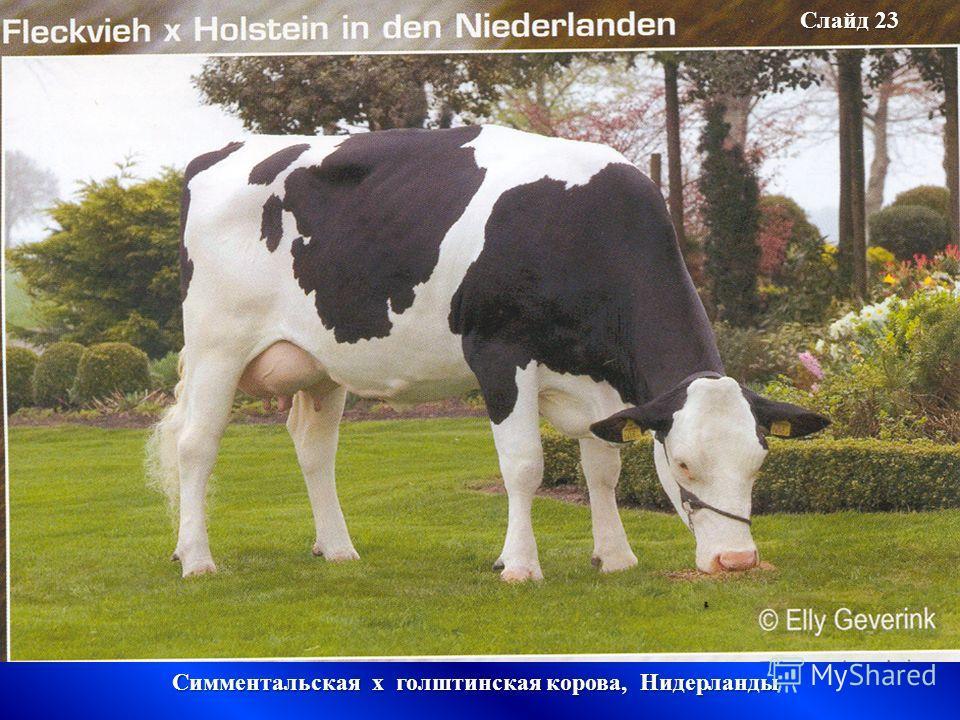 Слайд 23 Симментальская х голштинская корова, Нидерланды