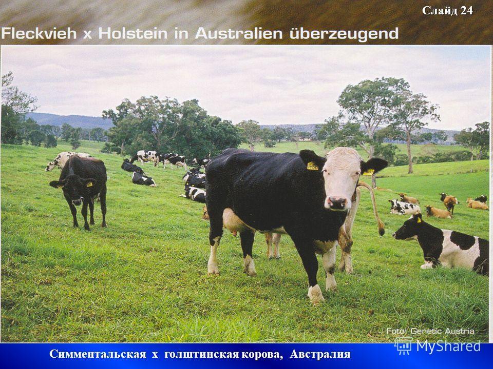 Слайд 24 Симментальская х голштинская корова, Австралия