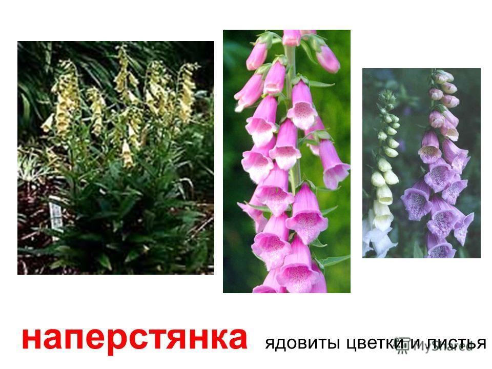 красавка-белладонна Все части растения смертельно ядовиты!