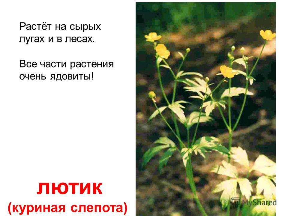 болиголов Всё растение смертельно ядовито! Дудочку из стебля делать опасно!!!