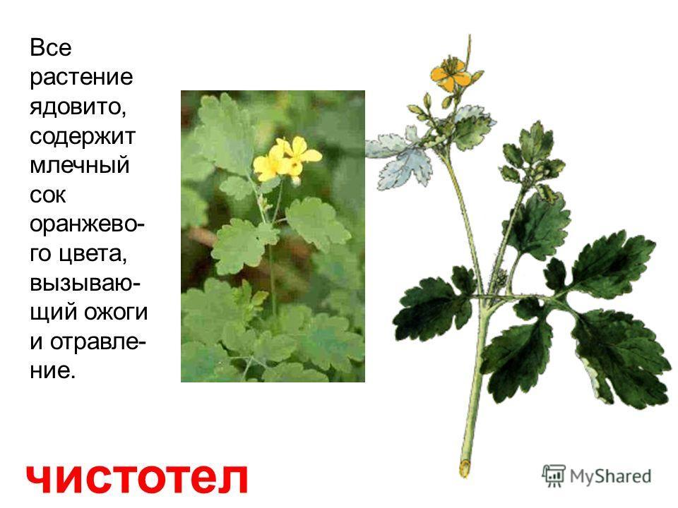 лютик (куриная слепота) Растёт на сырых лугах и в лесах. Все части растения очень ядовиты!