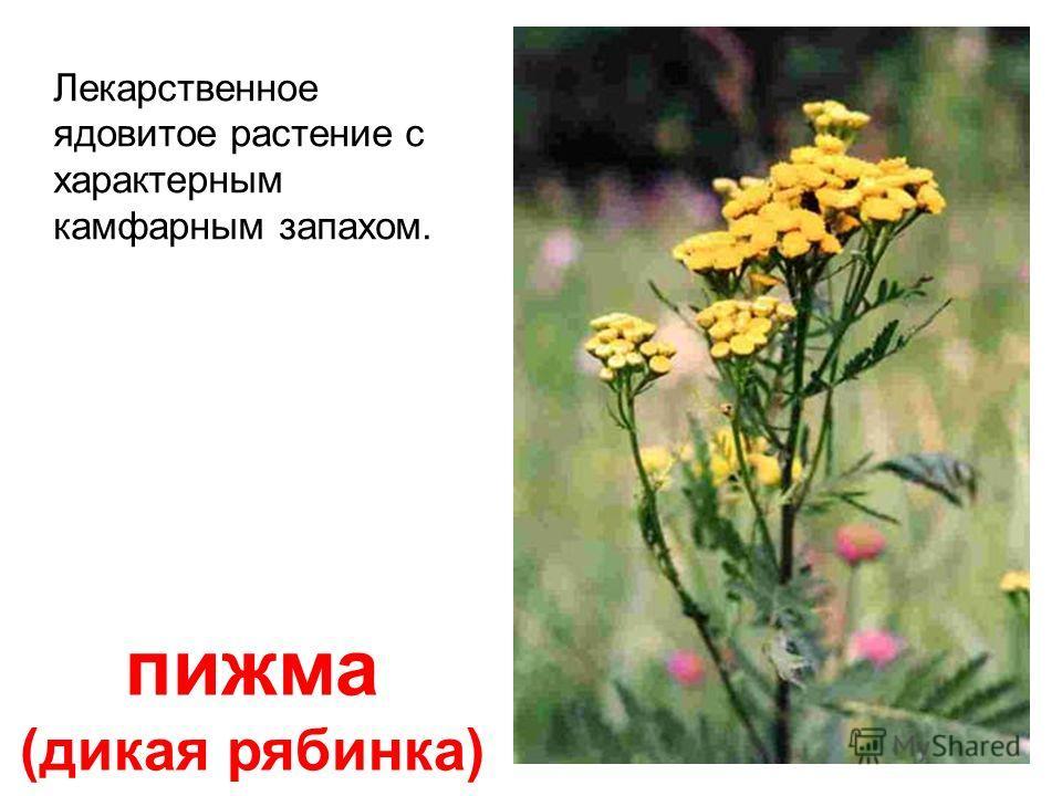 чистотел Все растение ядовито, содержит млечный сок оранжево- го цвета, вызываю- щий ожоги и отравле- ние.