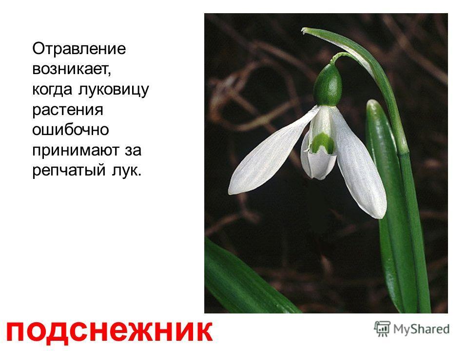 пижма (дикая рябинка) Лекарственное ядовитое растение с характерным камфарным запахом.