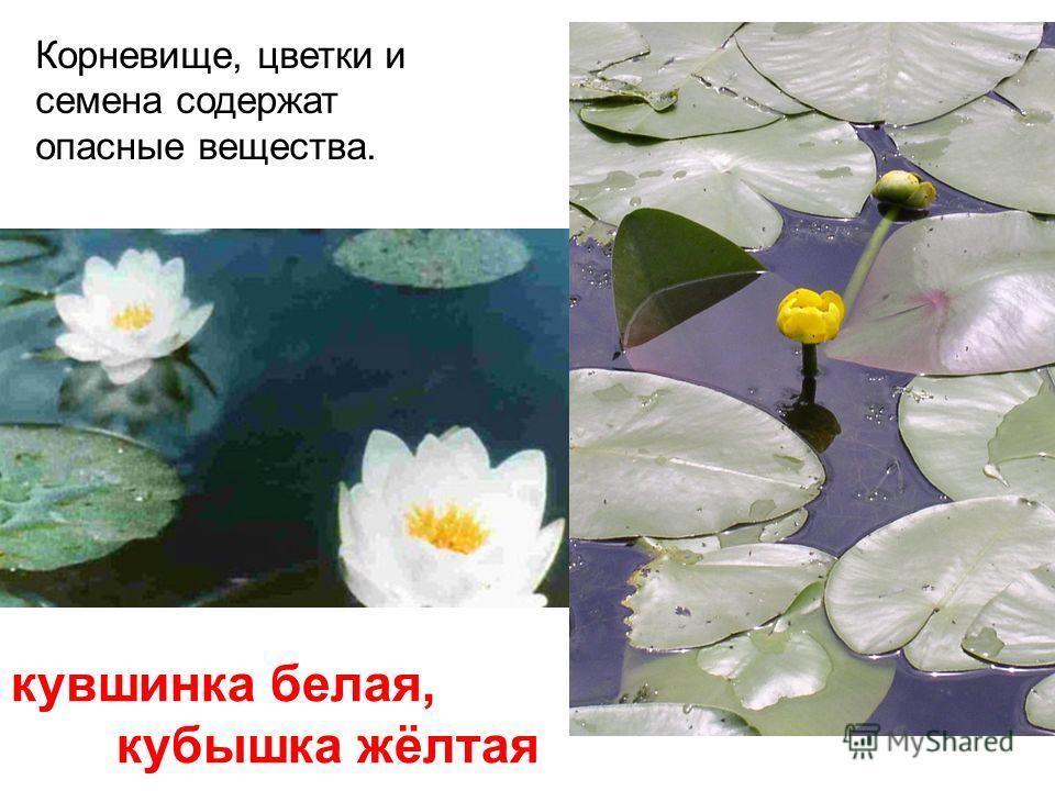 подснежник Отравление возникает, когда луковицу растения ошибочно принимают за репчатый лук.
