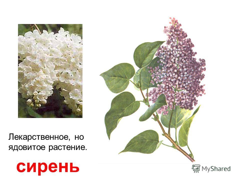 увшинка белая кувшинка белая, кубышка жёлтая Корневище, цветки и семена содержат опасные вещества.