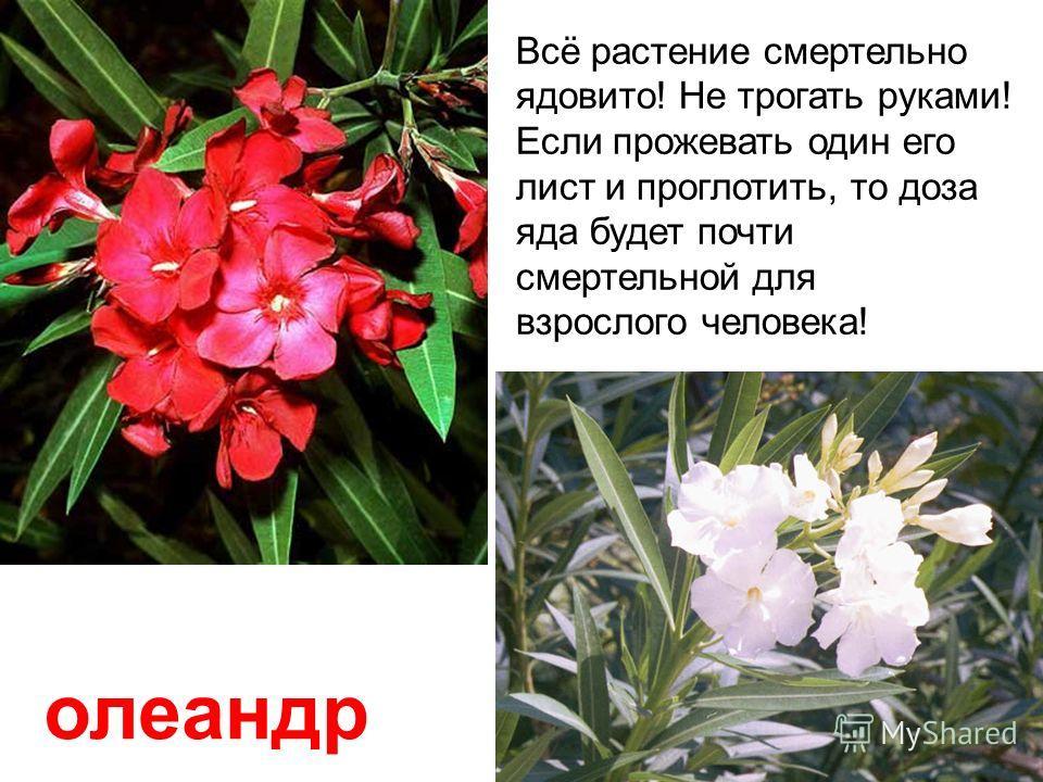 Белена (бешеная трава) растет на пустырях, в оврагах. Плод напоминает коробочку с крышечкой. Всё растение смертельно ядовито!