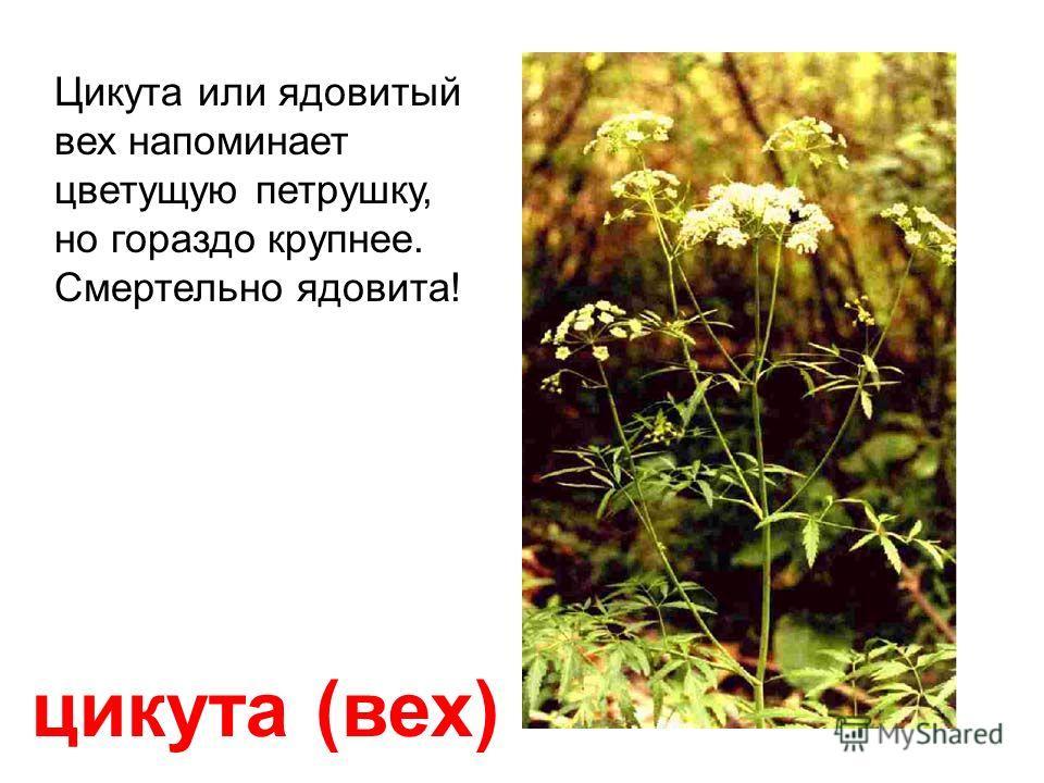 олеандр Всё растение смертельно ядовито! Не трогать руками! Если прожевать один его лист и проглотить, то доза яда будет почти смертельной для взрослого человека!