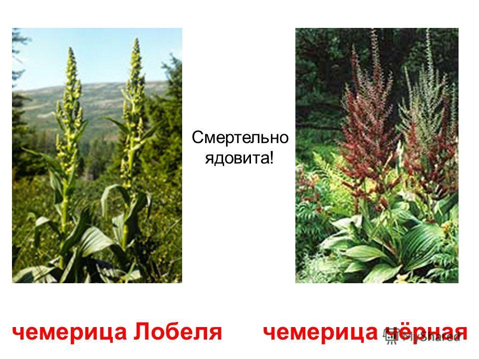 цикута (вех) Цикута или ядовитый вех напоминает цветущую петрушку, но гораздо крупнее. Смертельно ядовита!