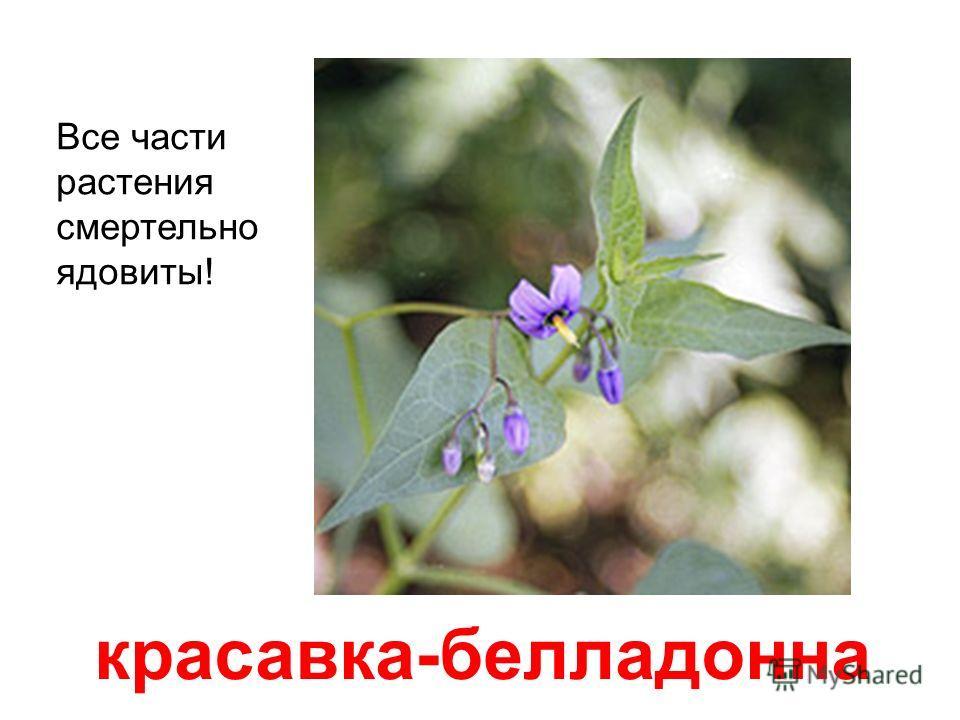 ландыш Все части растения смертельно ядовиты. Яд содержится даже в вазе с водой. Плод - красная ягода, также ядовит.