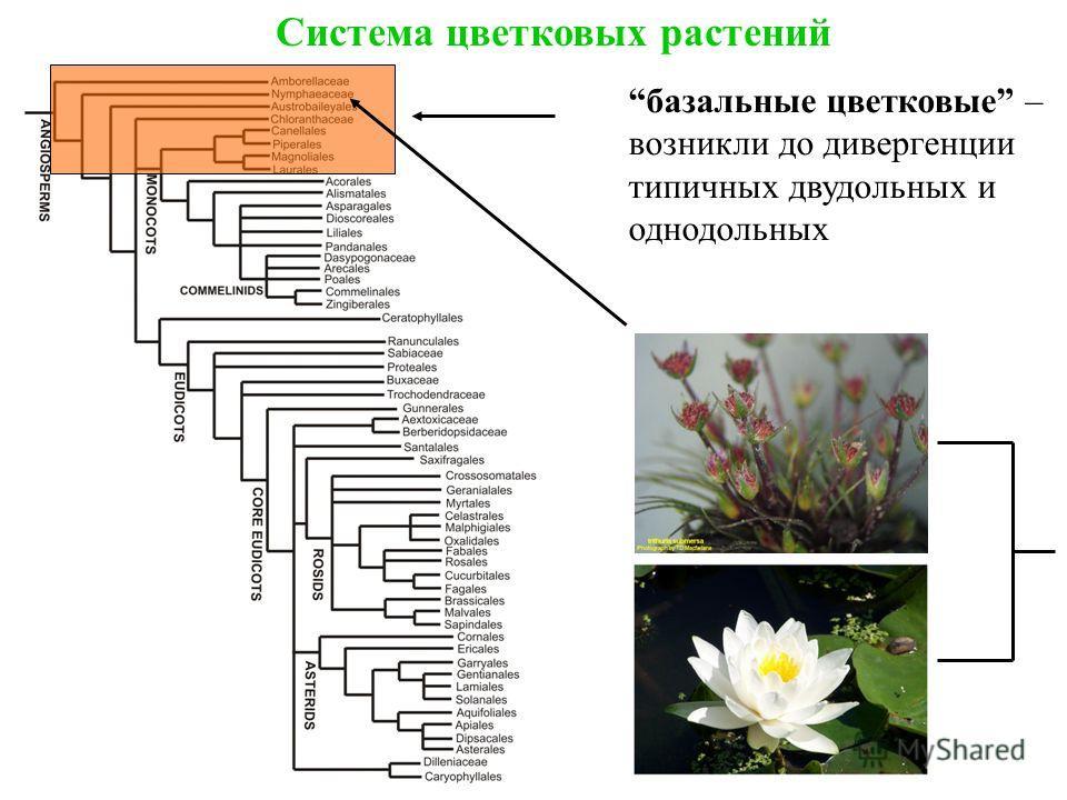 Система цветковых растений базальные цветковые – возникли до дивергенции типичных двудольных и однодольных