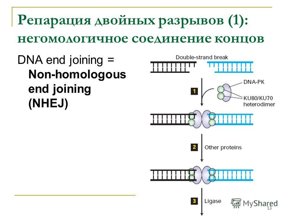 Репарация двойных разрывов (1): негомологичное соединение концов DNA end joining = Non-homologous end joining (NHEJ) 13