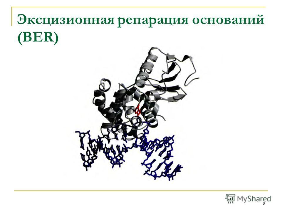 Эксцизионная репарация оснований (BER) 9