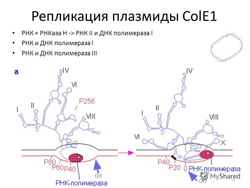 РНК + РНКаза Н -> РНК II и ДНК полимераза I РНК и ДНК полимераза I РНК и ДНК полимераза III 12 Репликация плазмиды ColE1