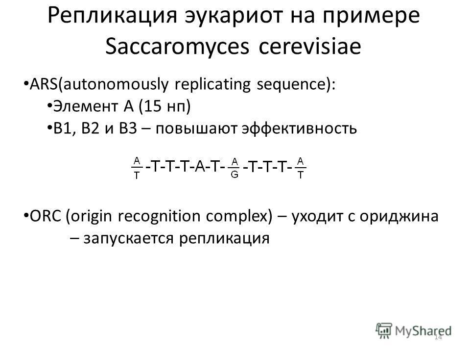 Репликация эукариот на примере Saccaromyces cerevisiae 14 ARS(autonomously replicating sequence): Элемент А (15 нп) B1, B2 и B3 – повышают эффективность ORC (origin recognition complex) – уходит с ориджина – запускается репликация