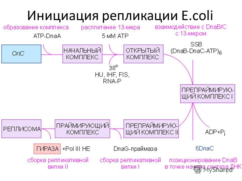 Инициация репликации E.coli 7
