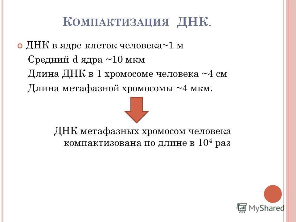 К ОМПАКТИЗАЦИЯ ДНК. ДНК в ядре клеток человека~1 м Cредний d ядра ~10 мкм Длина ДНК в 1 хромосоме человека ~4 см Длина метафазной хромосомы ~4 мкм. ДНК метафазных хромосом человека компактизована по длине в 10 4 раз