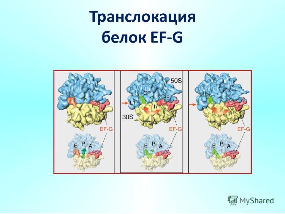 Транслокация белок EF-G