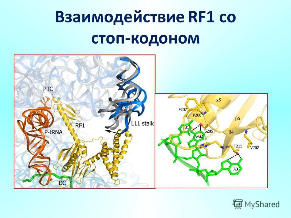 Взаимодействие RF1 со стоп-кодоном