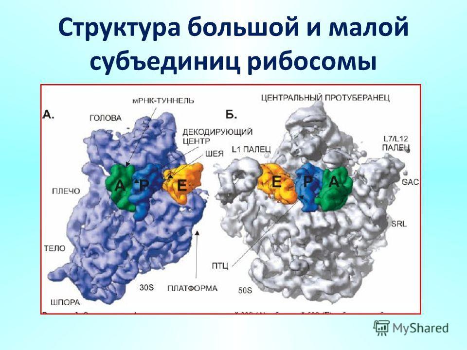 Структура большой и малой субъединиц рибосомы