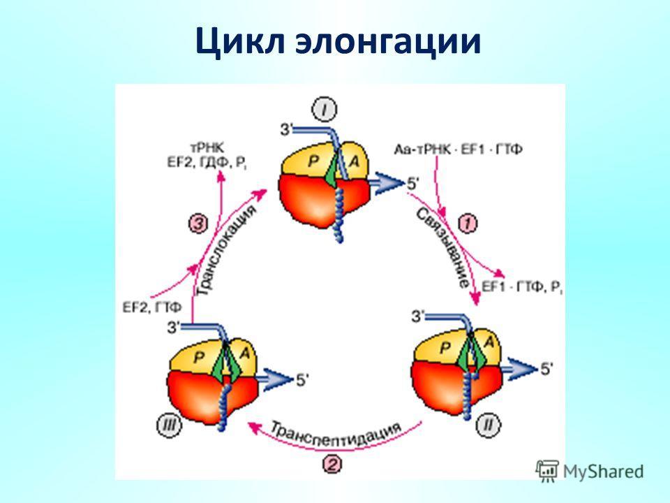 Цикл элонгации